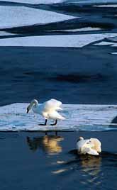 Isen smälter och svanarna kan vårbada, om man får tro väderexperterna. Foto: Hasse Holmberg/Pressens Bild