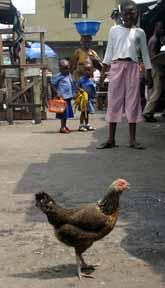 I många afrikanska byar lever fåglar nära människorna. Fågelinflensan kan bli ett mycket stort problem. Foto: Pressens Bild