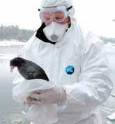 En död fågel tas omhand utanför Oxelösund. Kanske den kan vara smittad av fågelinfluensan. Foto: Jan Düsing/PrB
