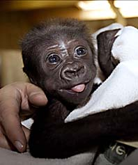Gorillaungen Enzo är frisk igen. Foto: Pontus Lundahl/PrB