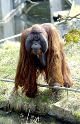 Orangutangen Baku har överfallit en skötare på djurparken i Borås. Foto: Bengt Lagerstedt/PrB