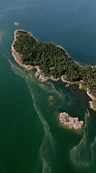 Det är massor av blågröna alger i vid Slottsdjupet i Östersjön. Foto: Scanpix.