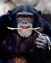 Schimpansen hotas av utrotning. Foto: Scanpix.