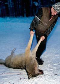 En varg har skjutits. Foto: Lars Pehrsson/Scanpix
