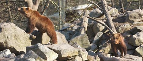 Fler än 300 björnar ska skjutas de närmaste månaderna. Foto: Leif R Jansson/Scanpix