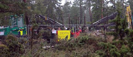 Högsta Domstolen har stoppat trädfällningen vid Bunge på Gotland. Foto: Greenpeace.