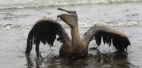 En fågel som skadats av oljeutsläppet från BP.Foto: Charlie Riedel/Scanpix