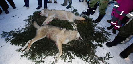 De här vargarna sköts nära Ockelbo 2011. Foto: Lars Pehrson/Scanpix.