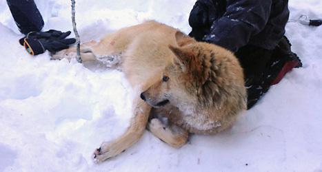 Vargen i Junsele bedövades och fångades in. Sedan kördes vargen söderut och släpptes där. Men nu är vargen på väg norrut igen. Foto: Naturvårsdverket/Scanpix.