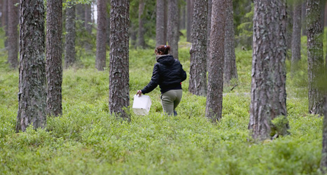Många människor från andra länder kommer till Sverige för att plocka bär. Foto: Pontus Lundahl/Scanpix.