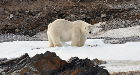 En isbjörn på Svalbard. Foto: Geir Wing Gabrielsen/TT.