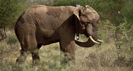 Elefanten har fått ett halsband med en sändare. Sändaren visar var elefanten är. Då kan den skyddas från jägare. Foto: Ben Curtis /APP /TT.