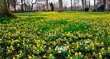 Den som bor i Malmö kan se vårens första blommor. Foto: Erika Oldberg /TT.
