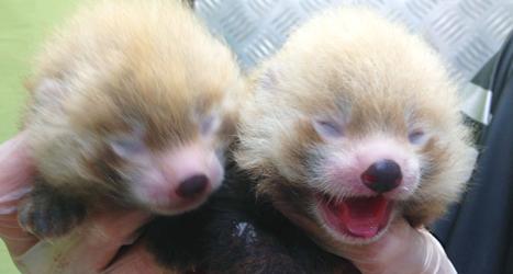 Pandaungarna Polly och Plopp föddes i Kolmårdens djurpark. Foto: Kolmården/TT.