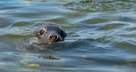 Många sälar har dött i havet utanför Sverige. Foto: Janerik Henriksson/TT