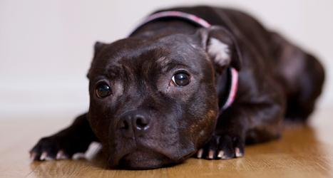 Hunden Agda räddade 5-åriga Isabelle från att drunkna. Foto: Johan Saarela/TT.