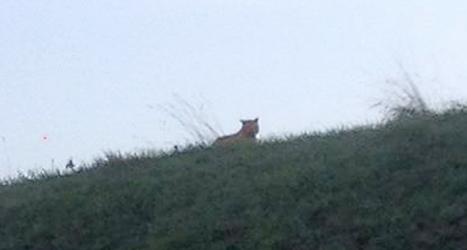 Är det en tiger som smyger omkring öster om Paris?  Alla är inte säkra på det. Foto: AP/TT.