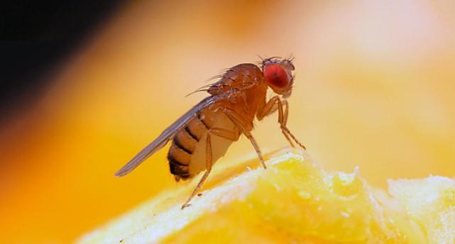 En bananfluga