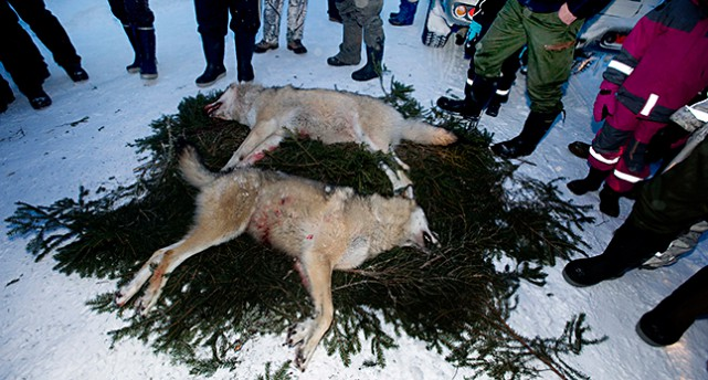 Två döda vargar ligger på granris