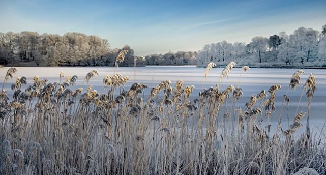 Vass med frost vid en frusen sjö