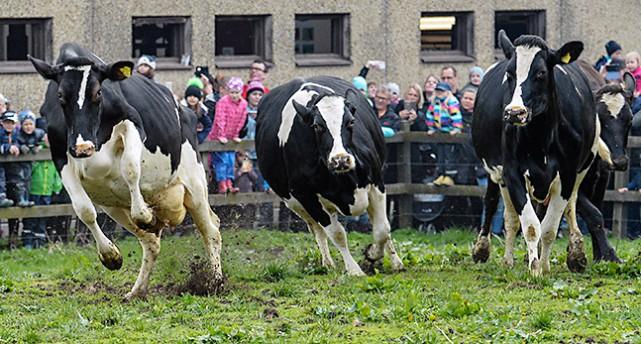 Kor som glatt springer i gräset.