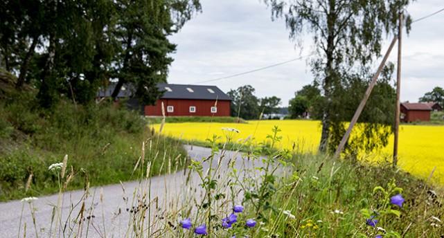 Ett blommande rapsfält och en bondgård.