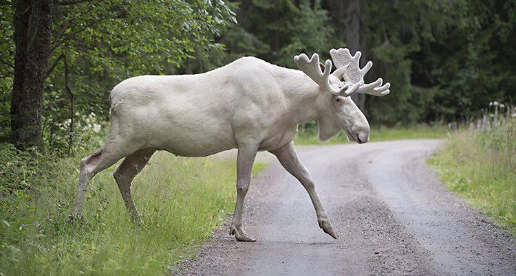En vit älg med vit krona går över en grusväg.