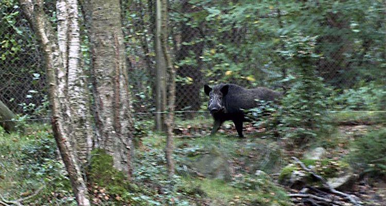 Ett vildsvin i skogen