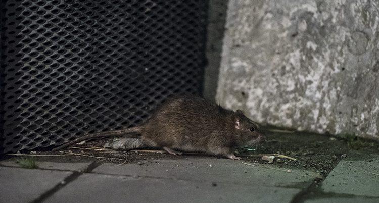 En råtta letar mat