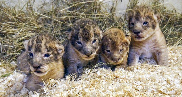 Två små lejonungar