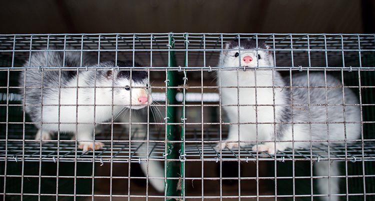 Två minikar i bur.