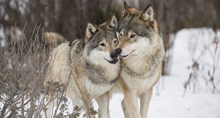 Två vargar med nosarna mot varandra.