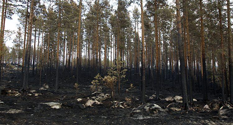 Skog som förstörts av elden