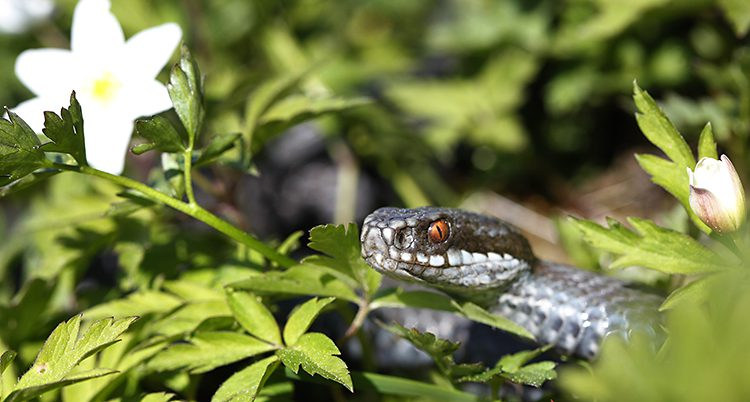 En orm i gräset
