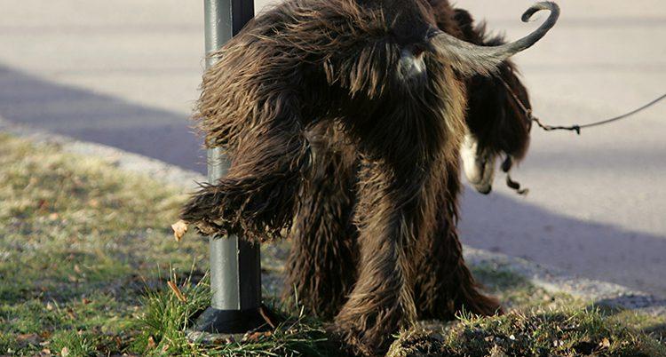 En hund bakifrån som kissar mot en stolpe
