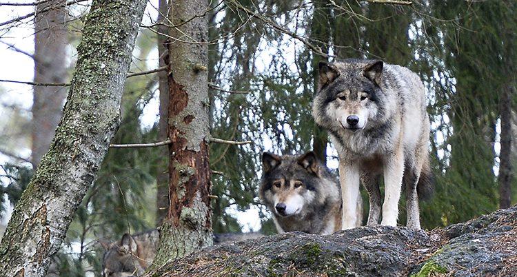 Vargar i Kolmårdens djurpark