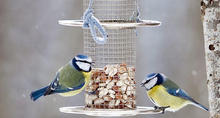 Två vackra blåmesar med blå huvuden och gula magar sitter på en kant av ett rör och äter frön.
