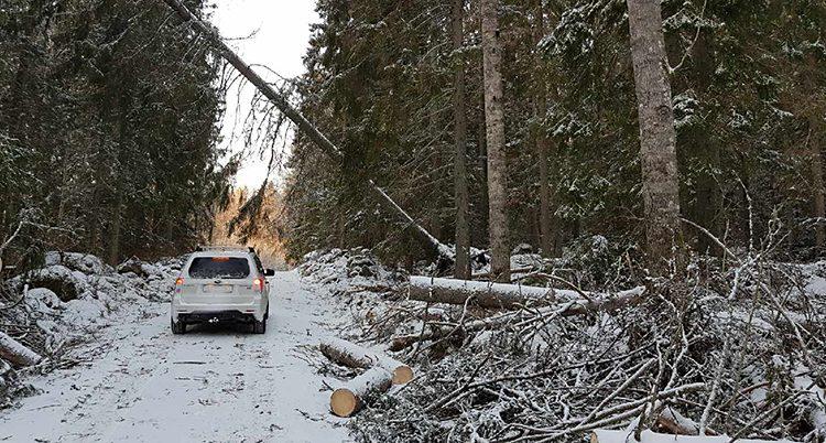 Träd som fallit i stormen