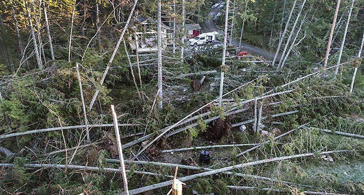 Många träd blåste omkull i stormen