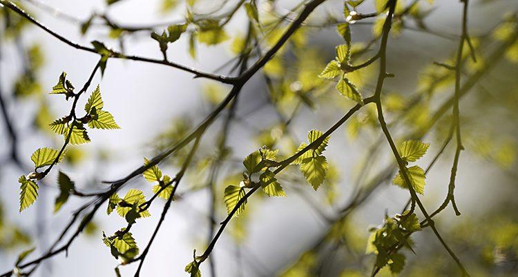 En bild på en gren med små blad och knoppar.