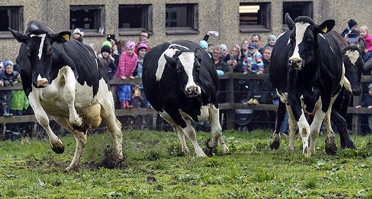 Kor som släpps ut på bete.