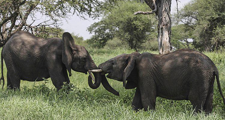 Två elefanter.