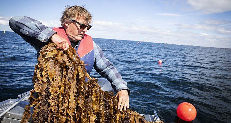 En man på en liten båt drar upp ett rep där det hänger långa bruna alger
