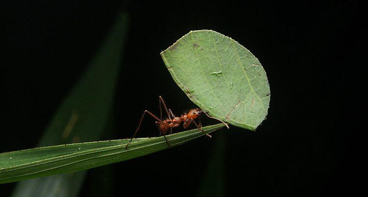 En myra kryper på ett grästrå med ett blad i munnen