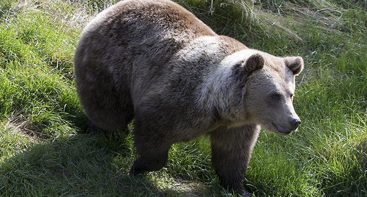 En björn som går över en gräsmatta.