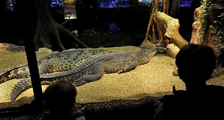 Två barn tittar genom glaset poå en krokodil.
