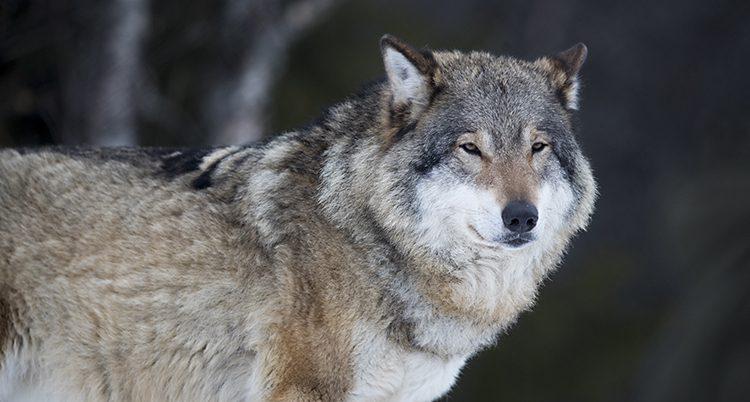 Bilden visar en varg ganska nära.