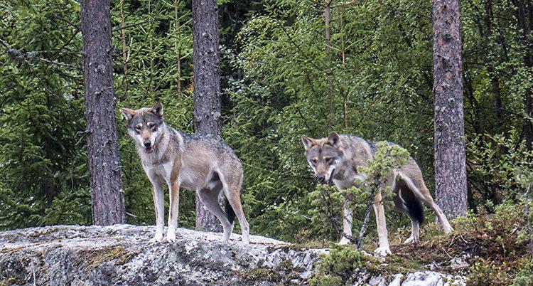 Två vargar står i skogen.