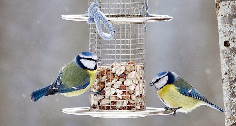 Två blåmesar åter nötter på ett fågelbord.