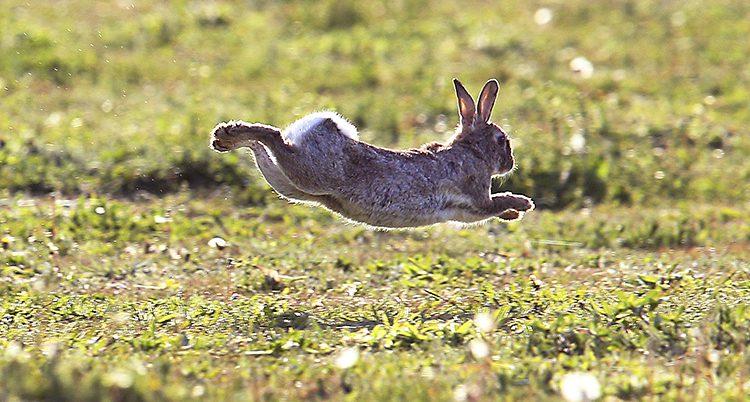 En kanin mitt i ett hopp. Alla tassarna är uppe i luften.